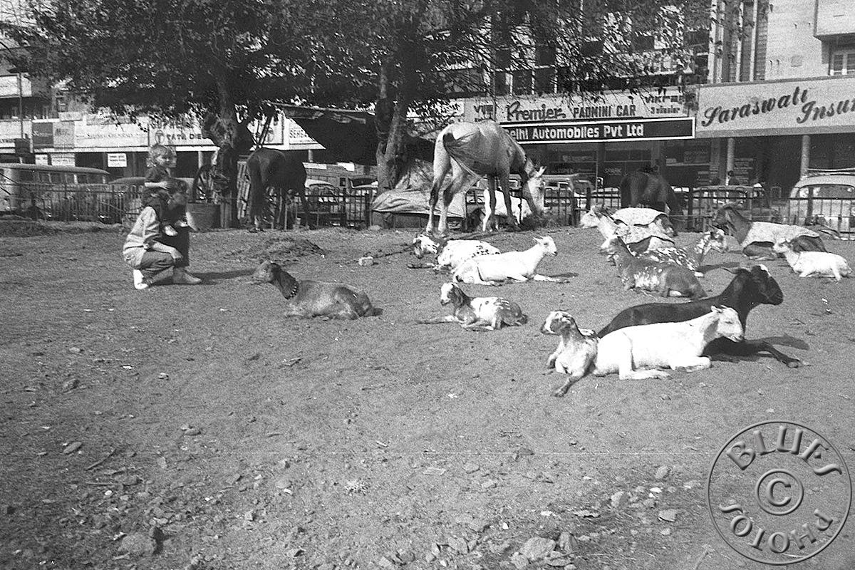 Indes - Delhi : des animaux reposent en pleine ville