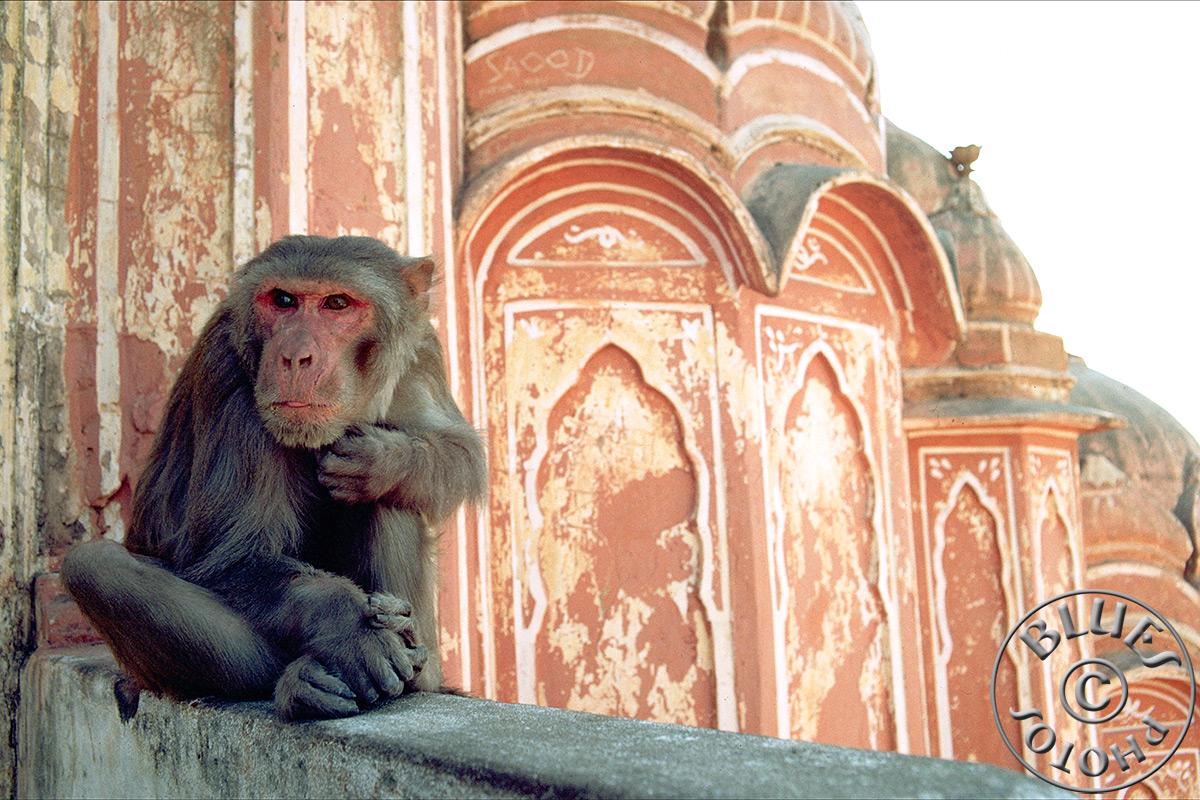 Jaipur, singe au Hawa Mahal (Palais des vents)