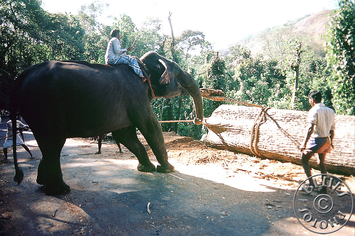 En route pour Madurai, la force des éléphants est largement employée