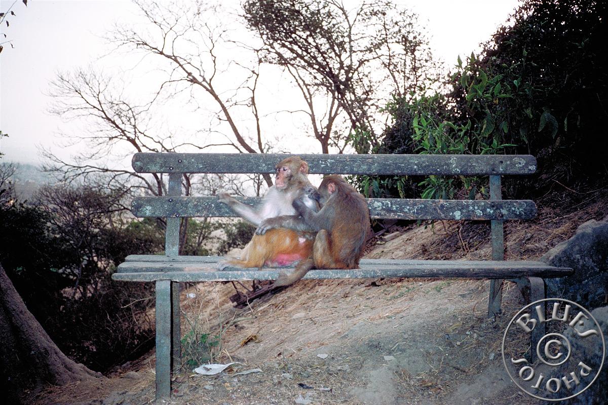 Nepal, singes sur la colline Swayambunath